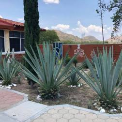Agave cactus plant